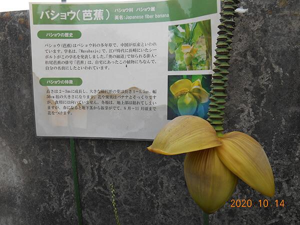 遊行柳の無料休憩所に咲いていた芭蕉の花