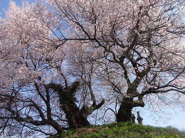 さいご塚古墳の桜