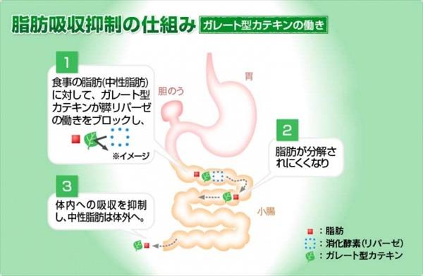 ガレート型カテキンの働き:脂肪吸収抑制の仕組み