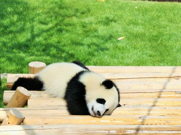 パンダの名前はなぜ同じ音を繰り返すの?