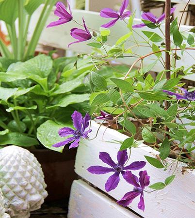 濃い紫のアフロディテ・エレガフミナ