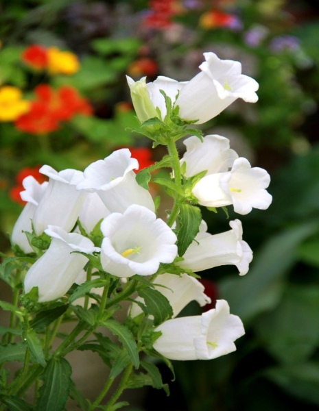 春の花カンパニュラ