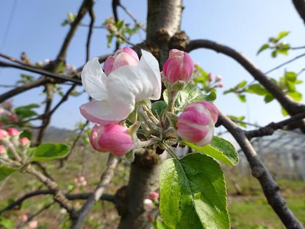 リンゴの花が咲いている様子