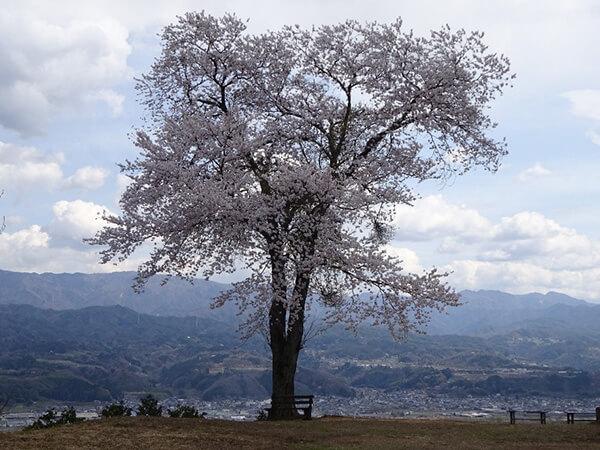 本曲輪 突端に咲く桜