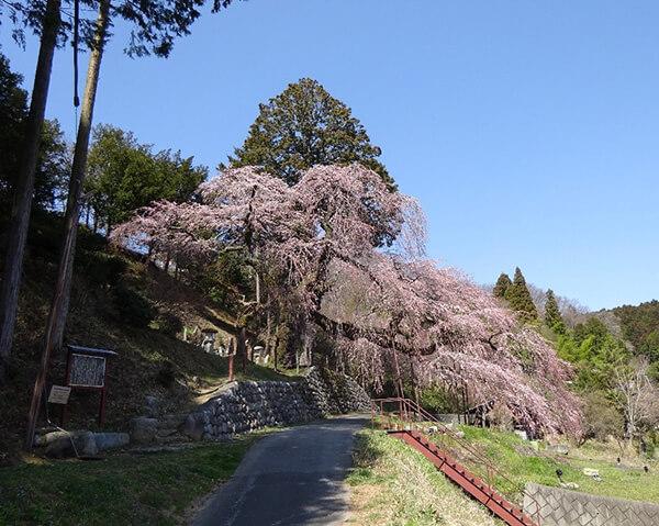 美しいくよと桜