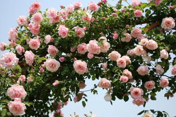 「つる性」のバラ