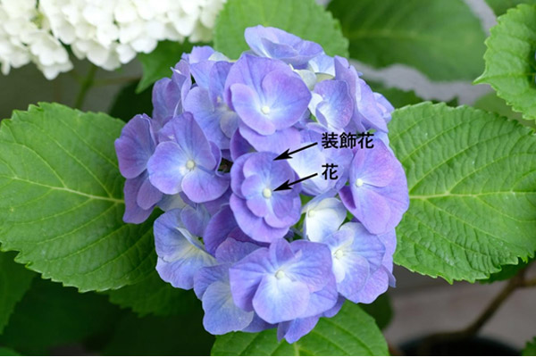 剪定 仕方 紫陽花 の 【あじさいの剪定】紫陽花(あじさい)の剪定方法や時期を知ろう!
