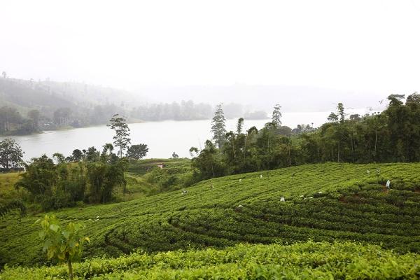 雨や霧も紅茶をおいしくする要素の一つ。