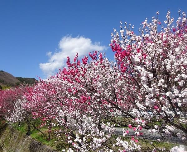 昼神温泉郷の花桃
