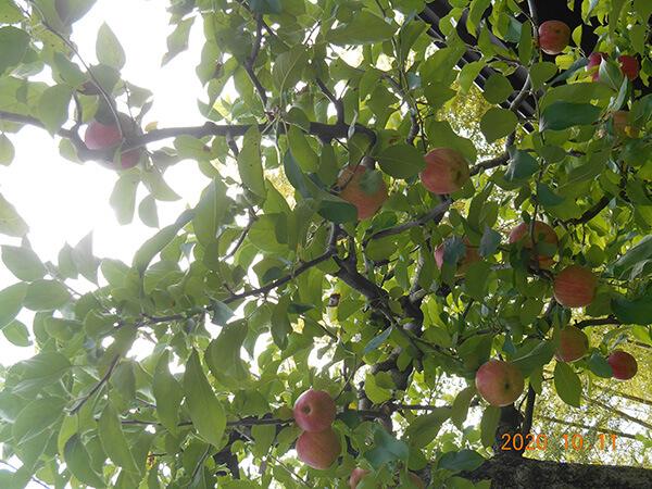 温泉敷地内のリンゴも色付いています