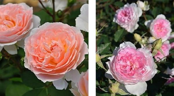 左:メルヘン・ツァウバー(コルデス)フロリバンダ系 四季咲き性 アプリコットで中大輪のロゼット咲き 右:シャリマー(木村 卓功) コンパクトシュラブ、四季咲き性 ピンクの中輪ロゼット咲き 黒星病に驚くほど強い品種のようです