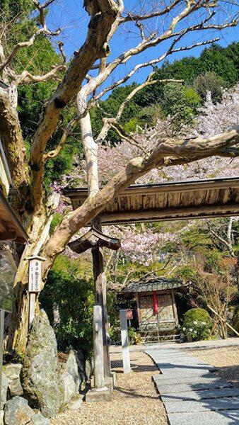 4月中旬、優しく咲き続ける我が町山奥の桜