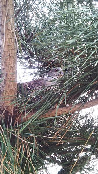 まだ肌寒い日、ハトが我が家の松の木で休んでいました