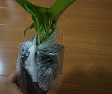 100均の観葉植物を購入して持ち帰るときのコツ