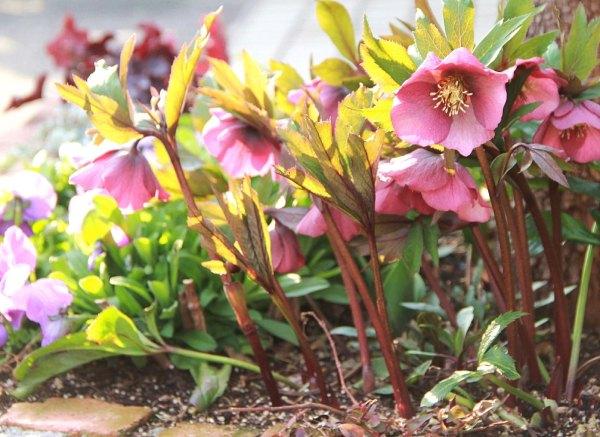 我が庭の8種類のクリスマスローズたち:ガーデン・ハイブリッド