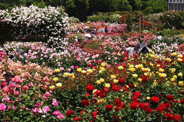 油彩画で描かれたような色とりどりのバラに埋もれる│京成バラ園