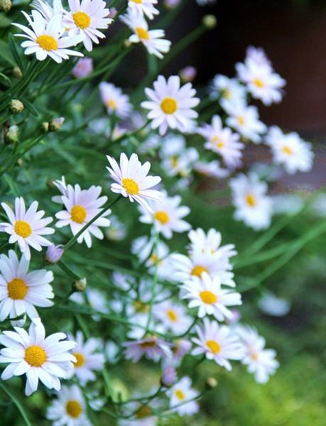 春の花マーガレット