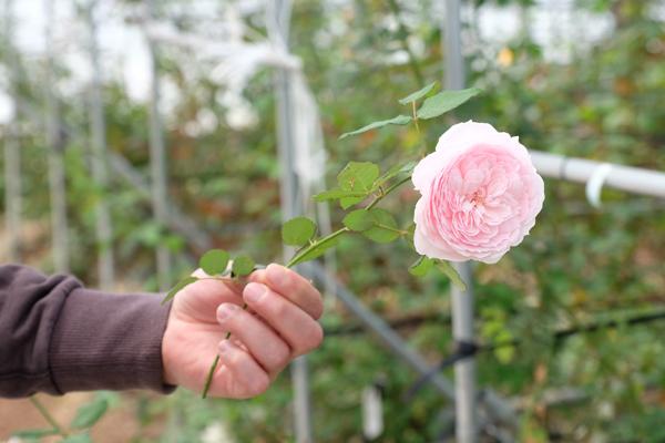 バラを育種するハウス内で切りたての「美咲」