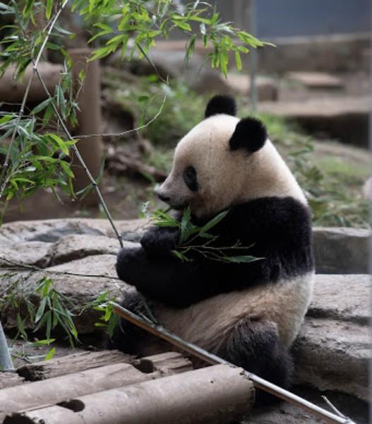 「味の違いがわかるパンダなの」