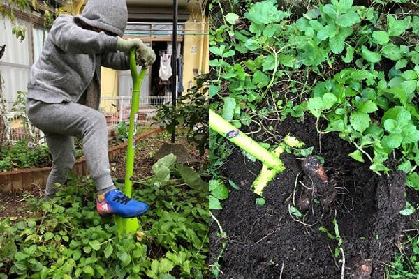 スコップで里芋を掘る(写真左) 里芋が出てきました!(写真右)