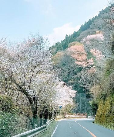 4月上旬京都府宇治田原町の山桜
