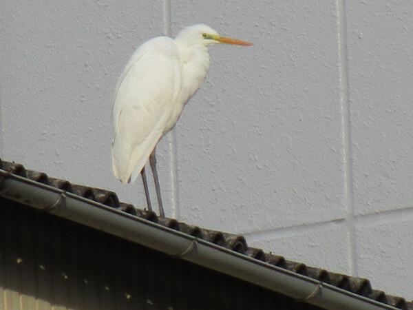 工場の屋根の上では、大きなシロサギがカッコよく立っています