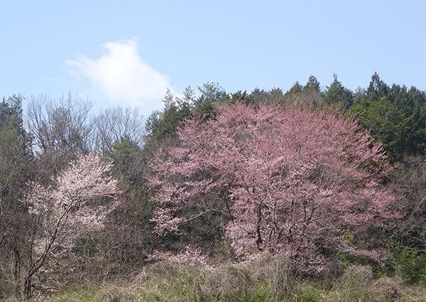 名もなき桜が姿を現す。永久に美しく‼