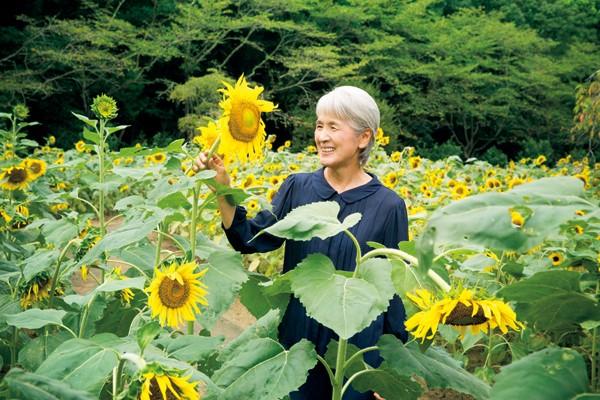 高さ1.5mにもなる品種「ビューティフルサン」。ヒマワリは花が首をもたげてから3週間後が種の収穫どきです。