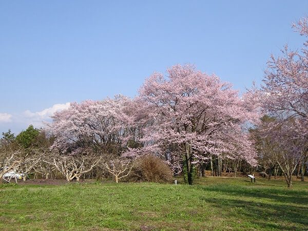 二の堀の桜と柿の木