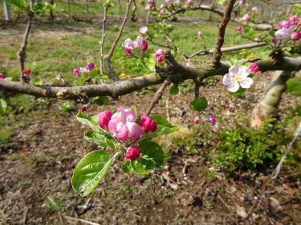 咲き始めたリンゴの花