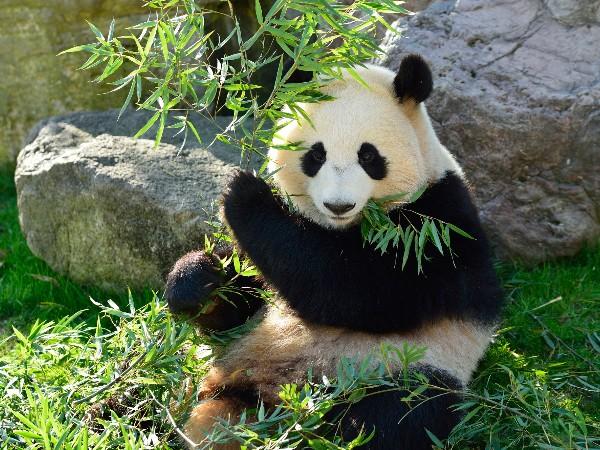 パンダは本当に笹の葉ばかり食べているの?