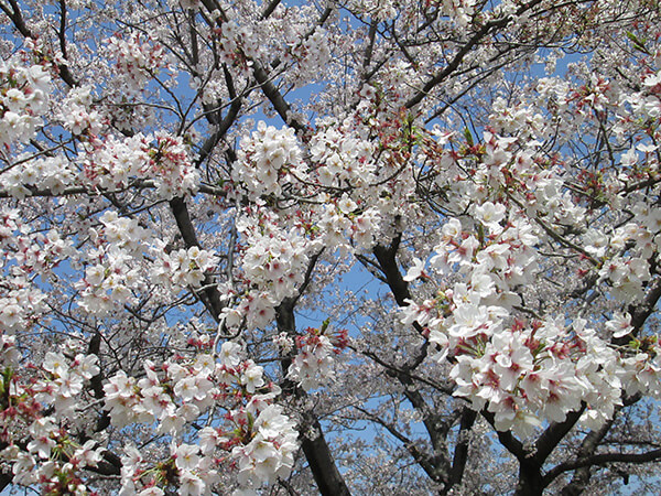 満開の桜を眺めて、あなたとの未来を想像