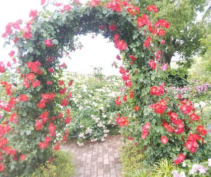 吸血鬼(バンパネラ)に紅い薔薇