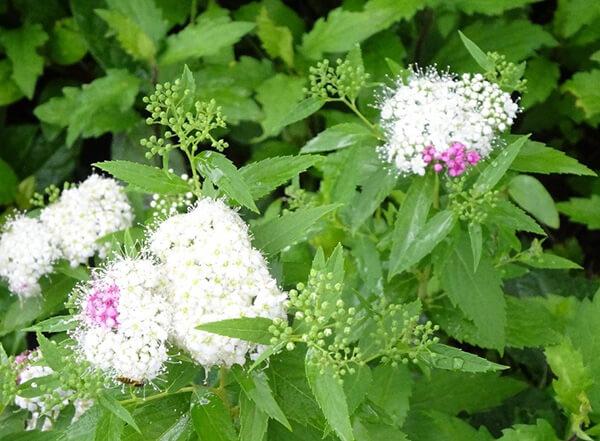 白いシモツケの花
