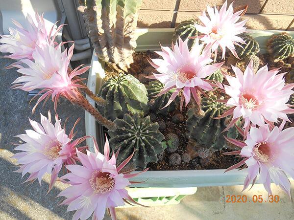 サボテンのピンクの花