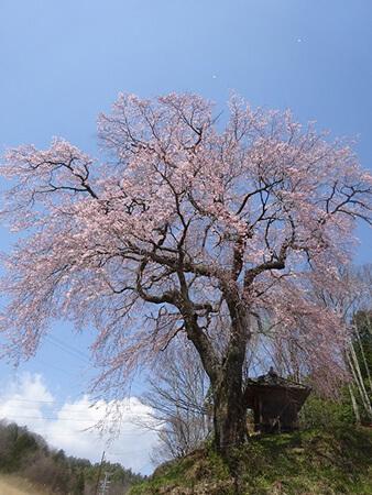 久米寺の枝垂れ桜
