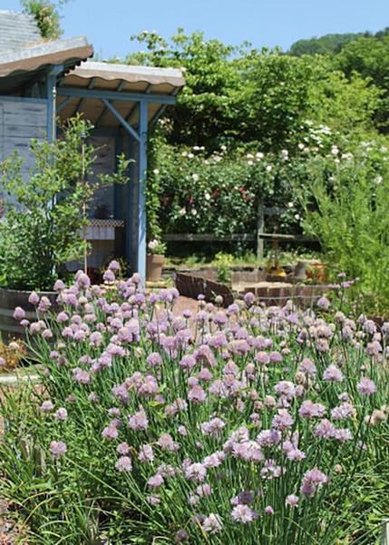 小屋の前にはチャイブが満開。セージ、ポリジ、ブルーベリーなど植えられています