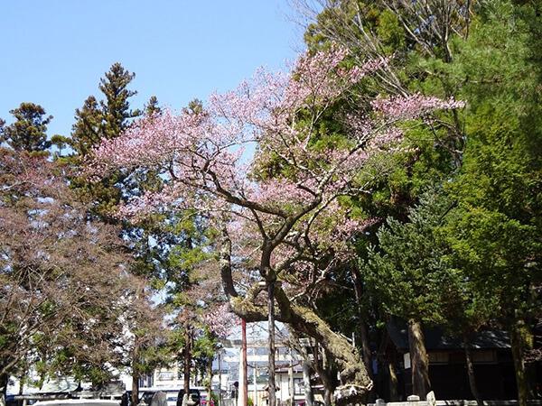 別方向から見た清秀桜