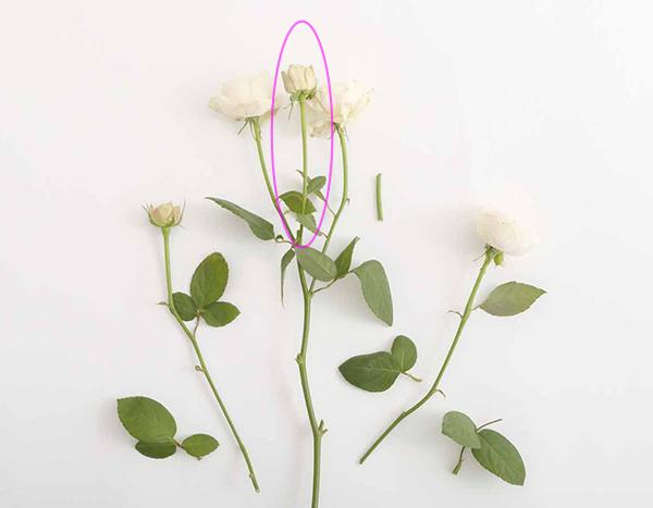 スプレー咲きのバラ
