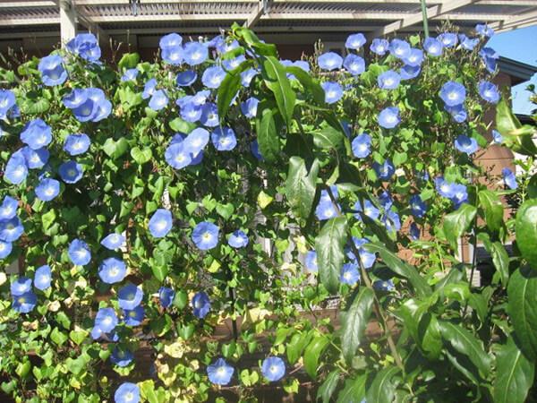 朝顔のへブンリ―ブルー。毎年、青のカーテンとして日差しを遮ってくれる