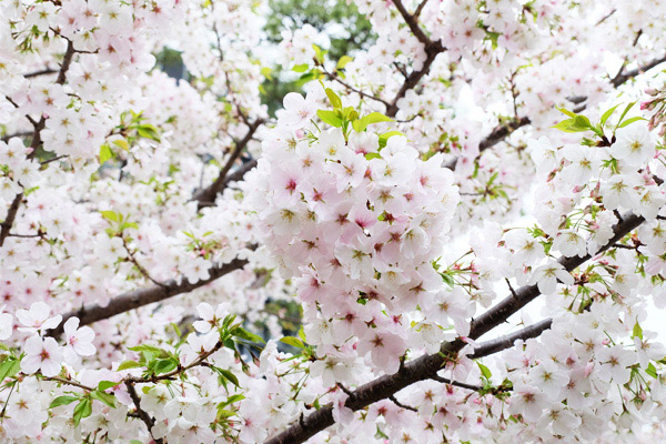 国立劇場前庭の桜