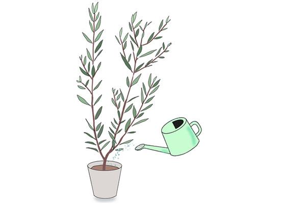 オリーブに水やりをする方法