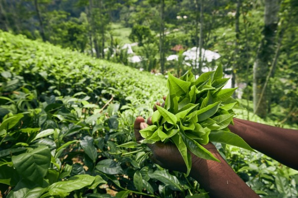 スリランカ産でおすすめの茶葉