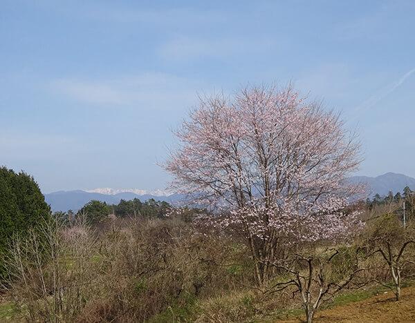 柳桜近くで見つけた別の桜 遠くの山には雪も見える