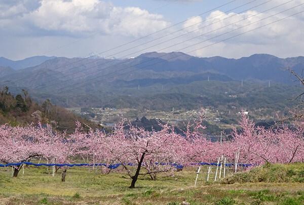 高台の桃の花