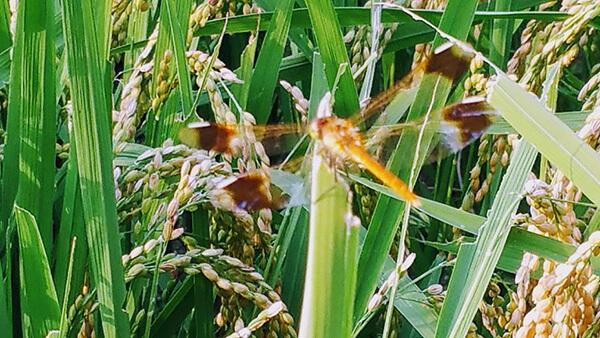 8月下旬には、稲もしっかり穂を付けて、稲刈りを待つばかりに