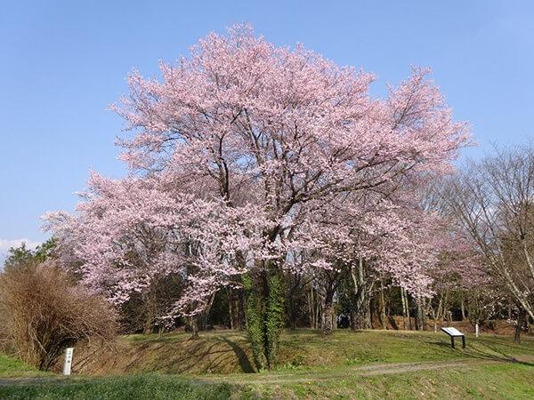 ひときわ美しい二の堀に咲く桜