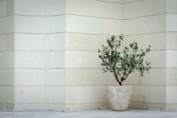 オリーブの樹形