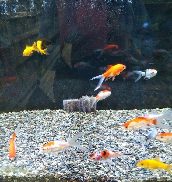 ホームセンターで自由に泳いでる金魚に癒やされました