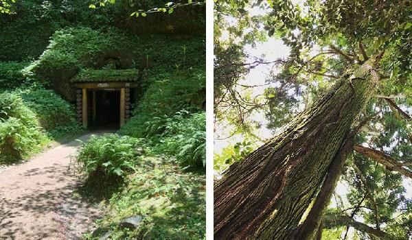 銀山の入り口と、銀山から帰る途中に見つけた立派な樹。石見銀山ではボランティアガイドの方が、当時の様子をじっくり解説しながら中を案内してくれます